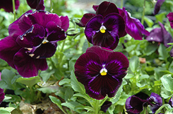Colossus Neon Violet Pansy (Viola 'Colossus Neon Violet') at Holcomb Garden Center