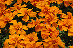 Safari Tangerine Marigold (Tagetes patula 'Safari Tangerine') at Holcomb Garden Center