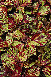 Wizard Mosaic Coleus (Solenostemon scutellarioides 'Wizard Mosaic') at Holcomb Garden Center