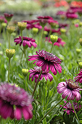 3D Purple African Daisy (Osteospermum '3D Purple') at Holcomb Garden Center