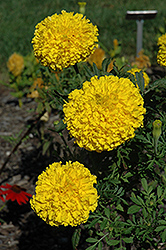 Babuda Yellow Marigold (Tagetes erecta 'Babuda Yellow') at Holcomb Garden Center