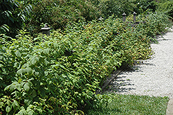 Heritage Raspberry (Rubus 'Heritage') at Holcomb Garden Center