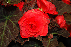 Nonstop® Mocca Cherry Begonia (Begonia 'Nonstop Mocca Cherry') at Holcomb Garden Center