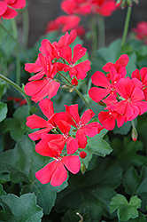 Caliente Coral Geranium (Pelargonium 'Caliente Coral') at Holcomb Garden Center