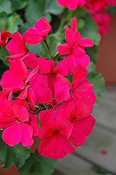 Caliente Dark Rose Geranium (Pelargonium 'Caliente Dark Rose') at Holcomb Garden Center