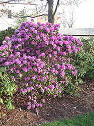 P.J.M. Regal Rhododendron (Rhododendron 'P.J.M. Regal') at Holcomb Garden Center