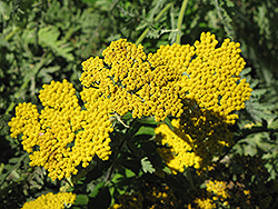 Coronation Gold Yarrow (Achillea 'Coronation Gold') at Holcomb Garden Center