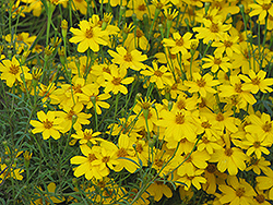Zagreb Tickseed (Coreopsis verticillata 'Zagreb') at Holcomb Garden Center