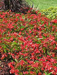 Dragon Wing Red Begonia (Begonia 'Dragon Wing Red') at Holcomb Garden Center