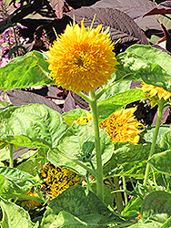 Teddy Bear Annual Sunflower (Helianthus annuus 'Teddy Bear') at Holcomb Garden Center