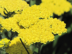 Moonshine Yarrow (Achillea 'Moonshine') at Holcomb Garden Center