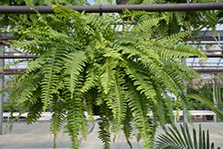 Boston Fern (Nephrolepis exaltata) at Holcomb Garden Center