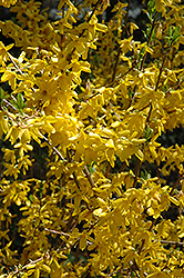 Lynwood Gold Forsythia (Forsythia x intermedia 'Lynwood Gold') at Holcomb Garden Center