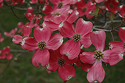 Cherokee Chief Flowering Dogwood (Cornus florida 'Cherokee Chief') at Holcomb Garden Center