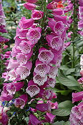 Dalmatian Purple Foxglove (Digitalis purpurea 'Dalmatian Purple') at Holcomb Garden Center