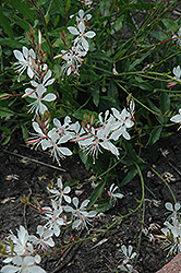 Sparkle White Gaura (Gaura lindheimeri 'Sparkle White') at Holcomb Garden Center