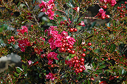 Tightwad Red Crapemyrtle (Lagerstroemia indica 'Whit V') at Holcomb Garden Center