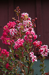 Raspberry Sundae Crapemyrtle (Lagerstroemia indica 'Whit I') at Holcomb Garden Center