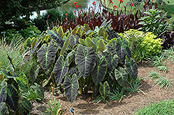 Illustris Elephant Ear (Colocasia esculenta 'Illustris') at Holcomb Garden Center