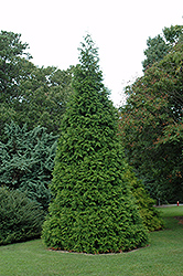 Green Giant Arborvitae (Thuja 'Green Giant') at Holcomb Garden Center