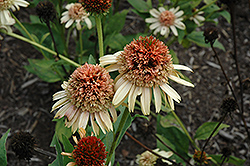 Supreme Cantaloupe Coneflower (Echinacea 'Supreme Cantaloupe') at Holcomb Garden Center