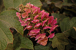 Ruby Slippers Hydrangea (Hydrangea quercifolia 'Ruby Slippers') at Holcomb Garden Center