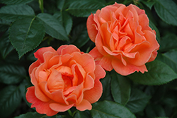 Livin' Easy™ Rose (Rosa 'HARwelcome') at Holcomb Garden Center