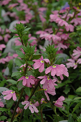 Pink Wonder Fan Flower (Scaevola aemula 'Pink Wonder') at Holcomb Garden Center