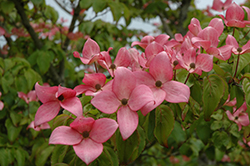 Red Flowering Dogwood (Cornus florida 'var. rubra') at Holcomb Garden Center