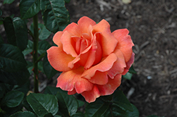 Easy Does It Rose (Rosa 'Easy Does It') at Holcomb Garden Center