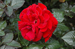 Drop Dead Red Rose (Rosa 'Drop Dead Red') at Holcomb Garden Center