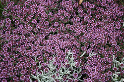 Pink Chintz Creeping Thyme (Thymus praecox 'Pink Chintz') at Holcomb Garden Center