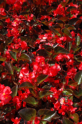 Big® Red Bronze Leaf Begonia (Begonia 'Big Red Bronze Leaf') at Holcomb Garden Center