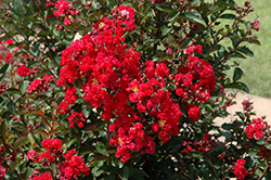 Dynamite Crapemyrtle (Lagerstroemia indica 'Whit II') at Holcomb Garden Center