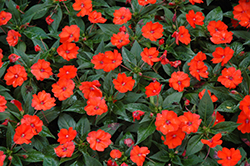 SunPatiens® Compact Orange New Guinea Impatiens (Impatiens 'SunPatiens Compact Orange') at Holcomb Garden Center
