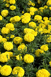 Perfection Yellow Marigold (Tagetes erecta 'Perfection Yellow') at Holcomb Garden Center