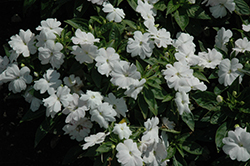 Divine™ White Blush New Guinea Impatiens (Impatiens hawkeri 'Divine White Blush') at Holcomb Garden Center