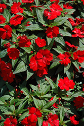 Divine™ Scarlet Red New Guinea Impatiens (Impatiens hawkeri 'Divine Scarlet Red') at Holcomb Garden Center