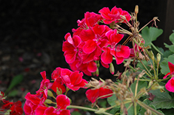Calliope® Crimson Flame Geranium (Pelargonium 'Calliope Crimson Flame') at Holcomb Garden Center