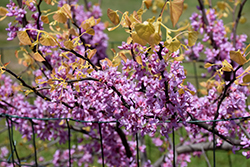 The Rising Sun Redbud (Cercis canadensis 'The Rising Sun') at Holcomb Garden Center