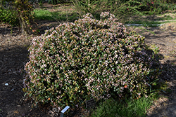Eleanor Taber™ Indian Hawthorn (Rhaphiolepis indica 'Conor') at Holcomb Garden Center