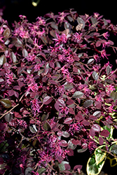 Crimson Fire™ Chinese Fringeflower (Loropetalum chinense 'PIILC-I') at Holcomb Garden Center