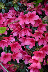 Encore® Autumn Ruby™ Azalea (Rhododendron 'Conler') at Holcomb Garden Center