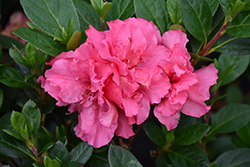 Bloom-A-Thon® Pink Double Azalea (Rhododendron 'RLH1-2P8') at Holcomb Garden Center