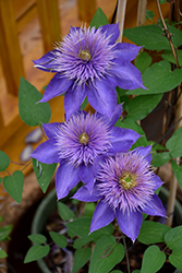 Multi Blue Clematis (Clematis 'Multi Blue') at Holcomb Garden Center