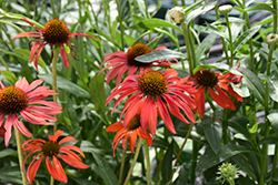 Tomato Soup Coneflower (Echinacea 'Tomato Soup') at Holcomb Garden Center
