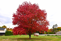 Red Maple (Acer rubrum) at Holcomb Garden Center