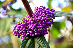 Profusion Beautyberry (Callicarpa bodinieri 'Profusion') at Holcomb Garden Center