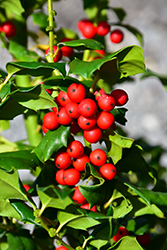 China Girl Meserve Holly (Ilex x meserveae 'China Girl') at Holcomb Garden Center