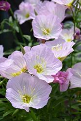 Siskiyou Mexican Evening Primrose (Oenothera berlandieri 'Siskiyou') at Holcomb Garden Center